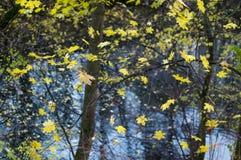 Autumn Maple Leaves en el fondo del viento Imágenes de archivo libres de regalías