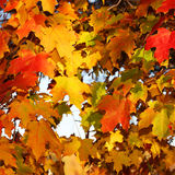 Autumn Maple Leaves. Fall Background Stock Image