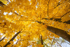 Autumn maple leaves fall. Autumn maple yellow orange leaves fall in the park. Sky view Royalty Free Stock Photography