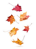 Autumn maple leaves falling down