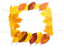 Autumn maple leaves falling frame Royalty Free Stock Photo