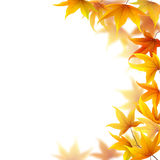 Autumn maple leaves. Falling on white background Vector Illustration