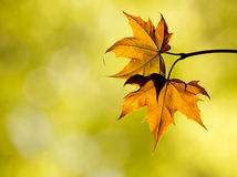 Autumn maple leaves in the forest Royalty Free Stock Photos