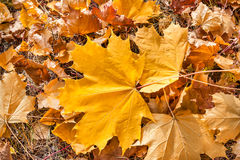 Autumn maple leaves in forest Royalty Free Stock Photos