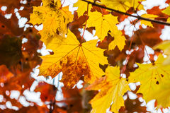 Autumn maple leaves in forest Stock Image