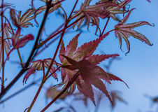 Autumn maple leaves in a forest in the sunlight Stock Images
