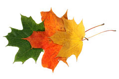 Autumn maple leaves four Stock Photo