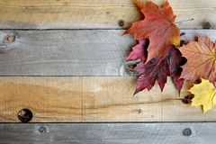 Autumn Maple Leaves Framing Rustic Wood Background. A variety of yellow, orange, and red Autumn Maple leaves are bordering the top of a rustic wood board Stock Images