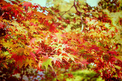 Autumn maple leaves in garden with retro filter Royalty Free Stock Image