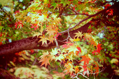Autumn maple leaves in garden with retro filter Royalty Free Stock Photos