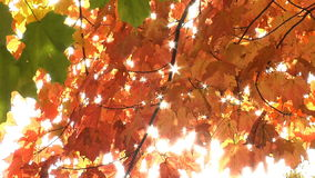 Autumn maple leaves. Gentle breeze blows through branches stock video footage