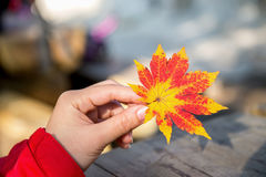 Autumn maple leaves. Royalty Free Stock Photography