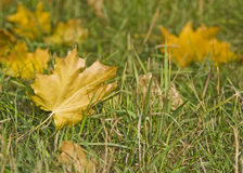 Autumn. Maple Leaves on the grass Stock Image