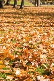 Autumn maple leaves on a grass Royalty Free Stock Photos