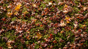 Autumn maple leaves on green plant ground Royalty Free Stock Photos