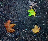 Autumn maple leaves on the ground Stock Image