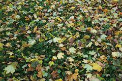 Autumn maple leaves on the ground royalty free stock photography