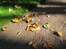 Autumn maple leaves on the ground stock photo