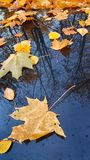 Autumn maple leaves on the hood of a car and the reflection royalty free stock image