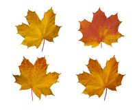 Autumn maple leaves. On isolated background Royalty Free Stock Photo