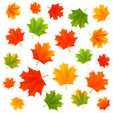 Autumn maple leaves isolated Royalty Free Stock Photography