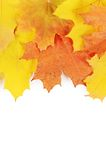 Autumn maple leaves isolated on white Stock Photo