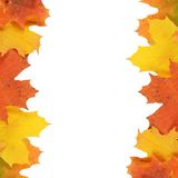 Autumn maple leaves isolated on white. Background Stock Images