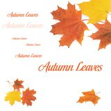 Autumn maple leaves isolated on white Stock Images
