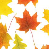 Autumn maple leaves isolated on white Royalty Free Stock Photo
