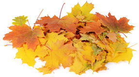 Autumn maple leaves isolated on white Royalty Free Stock Photos