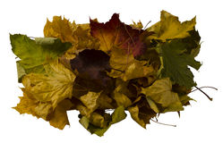Autumn maple leaves. Isolated autumn maple leaves on a white background Royalty Free Stock Photo