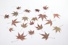 Autumn maple leaves. Isolated on white background Royalty Free Stock Photo