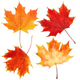 Autumn Maple Leaves Isolated on White Royalty Free Stock Images