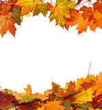 Autumn maple leaves isolated on white background Royalty Free Stock Image