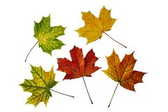 Autumn maple leaves isolated on white. Five colorful fallen maple leaves isolated on white Stock Image