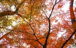 Autumn maple leaves. At japan Royalty Free Stock Photography