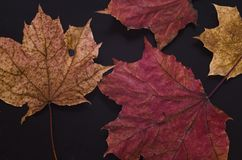 Autumn maple leaves lay on black matte surface Stock Photo