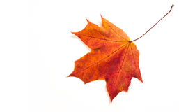 Autumn maple leaves. the leaf of the maple, used as an emblem of Royalty Free Stock Images