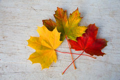 Autumn maple leaves lie on a white table.  Stock Image