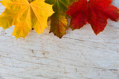 Autumn maple leaves lie on a white table.  Royalty Free Stock Images