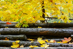 Autumn. Maple leaves lie on the wood royalty free stock image