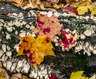 Autumn maple leaves on log Royalty Free Stock Photos