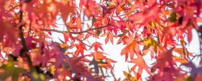 Autumn maple leaves, looking up in a forest royalty free stock photos