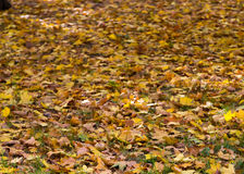 Autumn maple leaves lying on the grass lawn lit by the sun. Moscow. Russia. Stock Photo