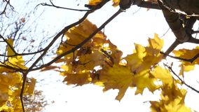 Autumn maple leaves moving in the wind slow motion stock video