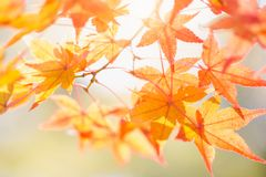 Autumn maple leaves. Natural background colorful foliage stock image