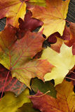 Autumn maple leaves on old oak table Stock Image