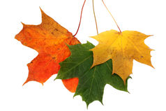 Autumn maple leaves one Royalty Free Stock Photo