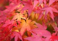 Autumn Maple Leaves: Ontsteking royalty-vrije stock afbeelding