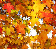 Autumn Maple Leaves. Outdoor. Fall Royalty Free Stock Photography